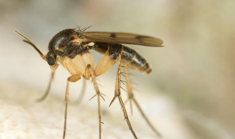how to get rid of fungus gnats