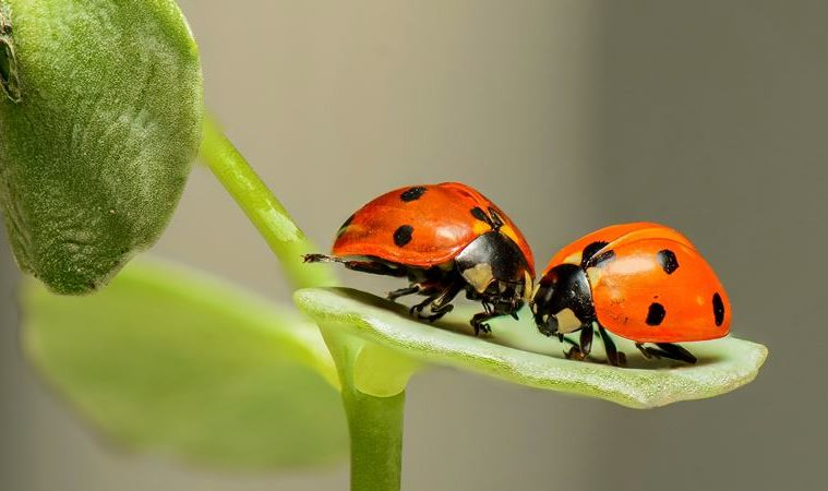how to get rid of asian beetles