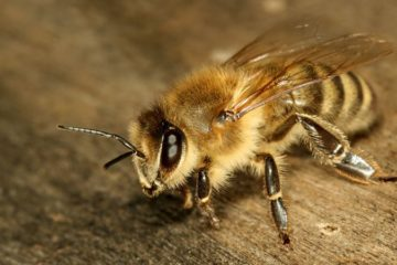 how to get rid of ground bees